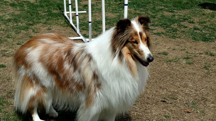 Fawnequin Rough Collie